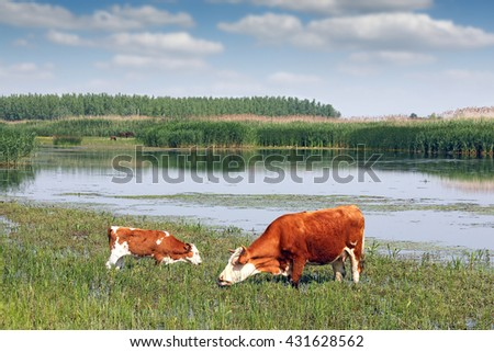 cow and calf on pasture near river summer season - stock photo