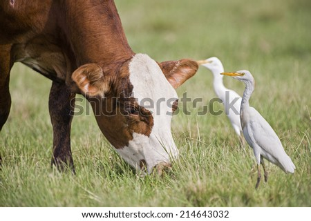 Cow and Cattle Egrets - stock photo