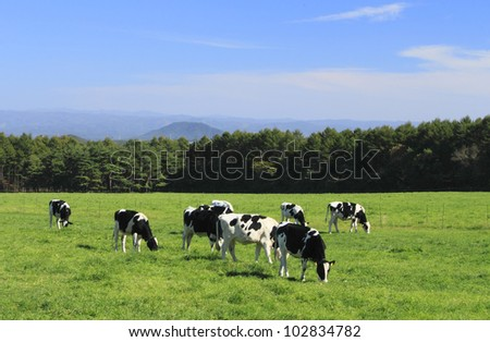 cow and grass in  autuwn