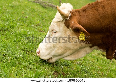 cow and green grass