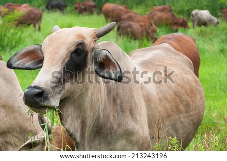 cow and ox in a field - stock photo