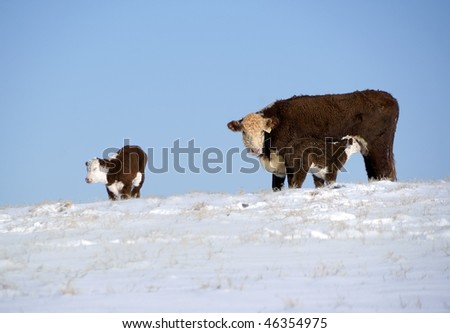 Cow and two calves - stock photo