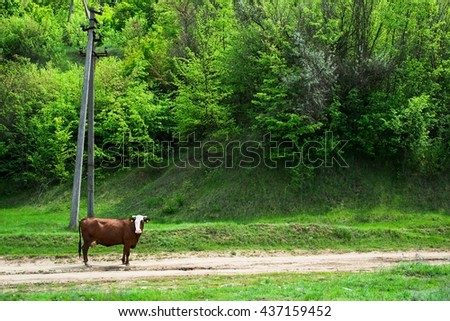 Cow, animal in the farm on the grass meadow, field, grazing. Mammal cattle in summer on rural green nature on dairy. Landscape with pasture, sky. Farming beef. - stock photo