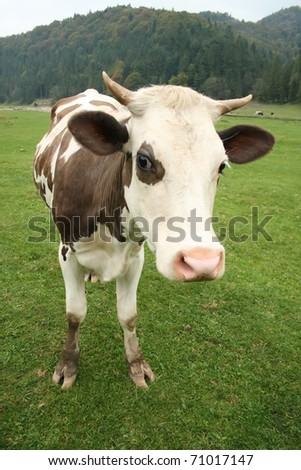 Cow at meadow - stock photo
