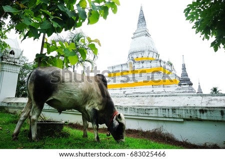 Cow at Temple or Wat Phra Borom That Thung Yang , Laplae District , Uttaradit Province , Thailand
