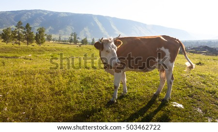Cow at the meadow in countriside