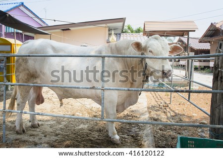 cow behind bars, watching - stock photo