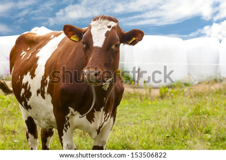 cow brown and white on pasture - stock photo