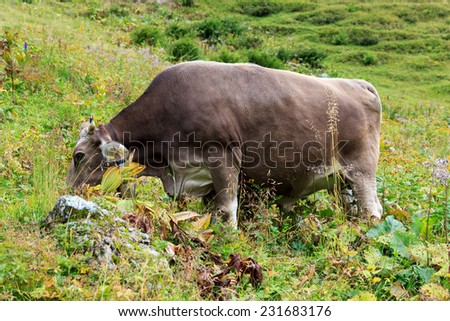 Cow browsing in the Allgau - stock photo