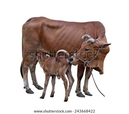 Cow-calf, calf sucking mother cattle isolated on white background - stock photo