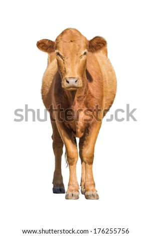 Cow calf isolated on white