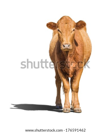 Cow calf isolated on white - stock photo