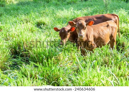 Cow calves grazing in green pasture - stock photo