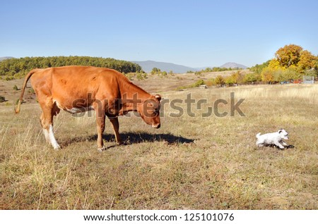 Cow chases a dog - stock photo