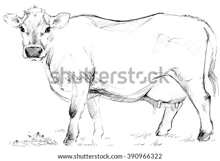 Cow. Cow sketch. Dairy cow pencil sketch. Animal farm - stock photo