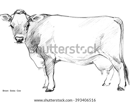 Cow. Cow sketch. Dairy cow pencil sketch. Animal farm. Brown Swiss Cow - stock photo