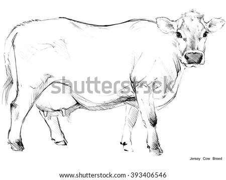 Cow. Cow sketch. Dairy cow pencil sketch. Animal farm. Jersey Cow breed - stock photo