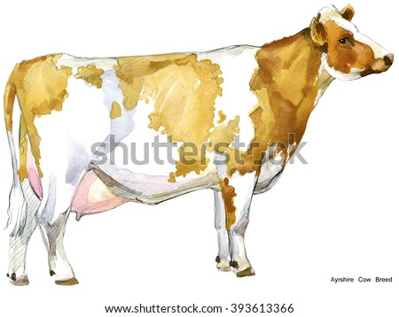 Cow. Cow watercolor illustration. Milking Cow Breed. Ayrshire Cow Breed. - stock photo