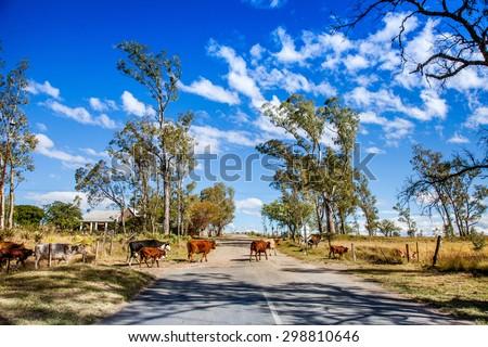 Cow Crossing - stock photo