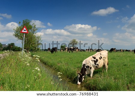 Cow drinking in front of cow traffic sign in Holland. - stock photo