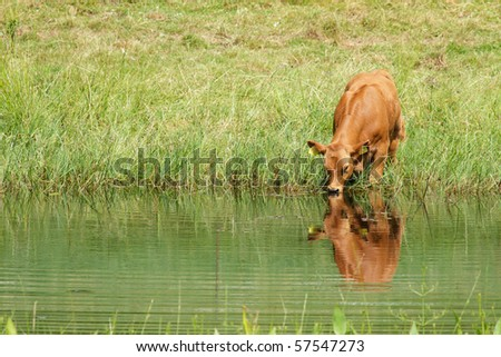 Cow drinking water from the pond - stock photo