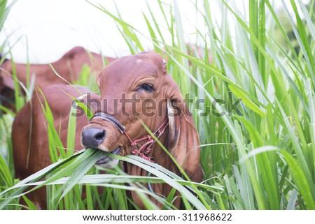 Cow eat grass - stock photo