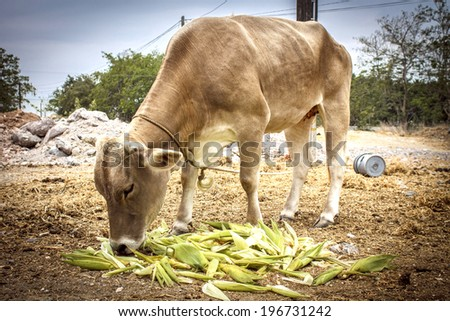 Cow eating corn leaves - stock photo