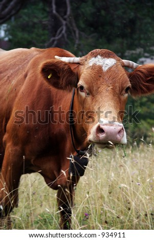 Cow eating grass. - stock photo