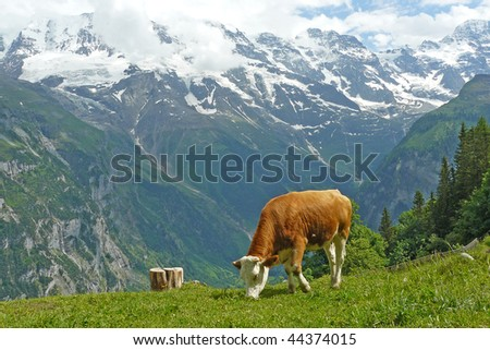 Cow eating grass on hillside of Alps - stock photo