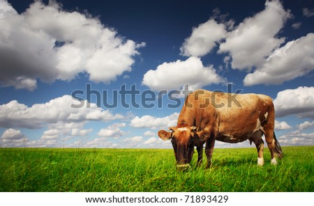 Cow eating green grass on a meadow on blue cloudy sky background. - stock photo