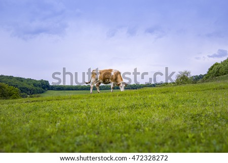 Cow eating on a field