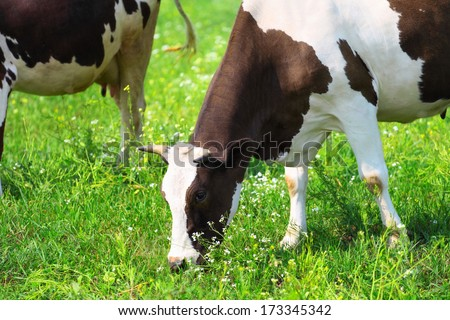 cow eating the grass on green meadow - stock photo