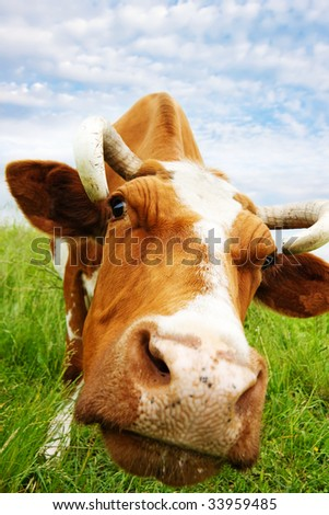 cow eats grass - stock photo