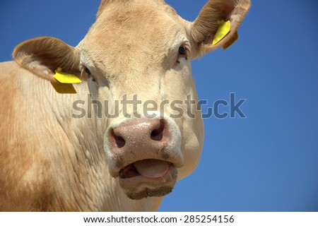 cow face in the blue sky - stock photo