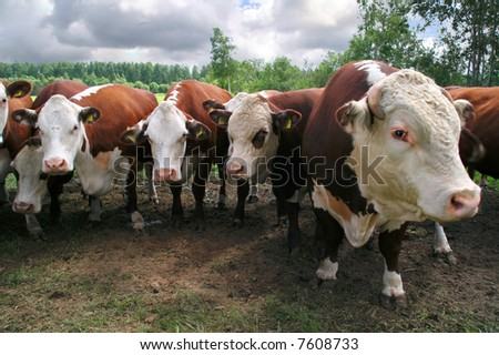 Cow family on pasture field - stock photo