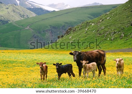 Cow family standing in yellow field in front of mountains - stock photo