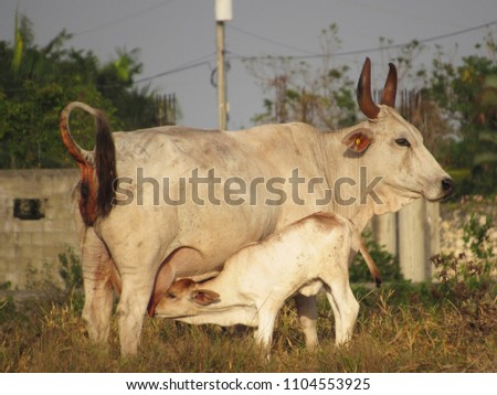 stock-photo-cow-feeding-calf-drinking-mi