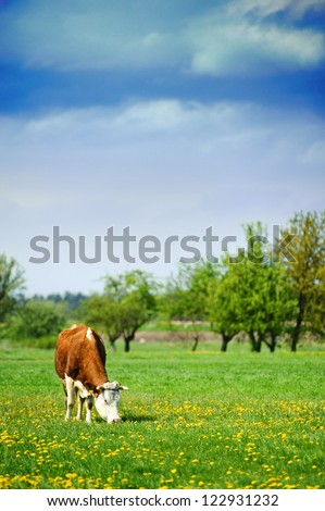 Cow feeding in a field of grass