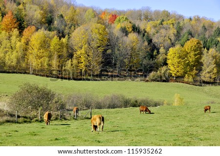Cow field in fall  eastern township Bromont, Quebec, canada - stock photo