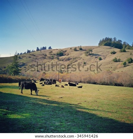 Cow field Northern California