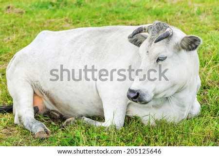 Cow graze in the meadow near to the farm - stock photo