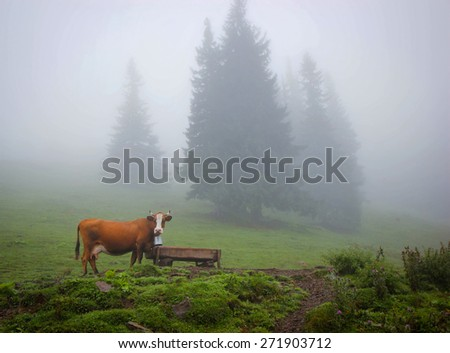 cow grazing in a meadow in the woods - stock photo