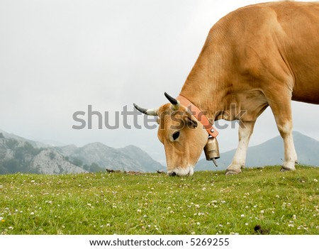 Cow grazing in Asturias, Spain. - stock photo