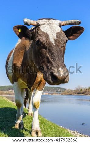 Cow grazing in the meadow near river Irkut - stock photo