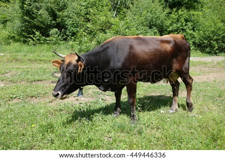 Cow grazing on a green field. Transcarpathia