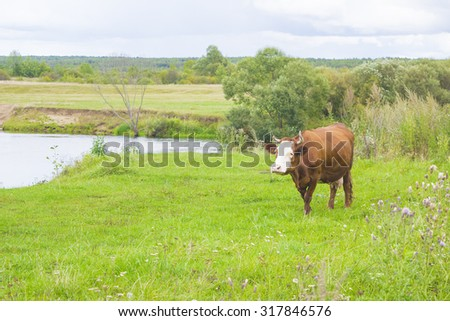 cow grazing on a meadow near the river - stock photo