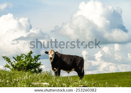 Cow grazing on a prairie field in the flint hills of Kansas. - stock photo