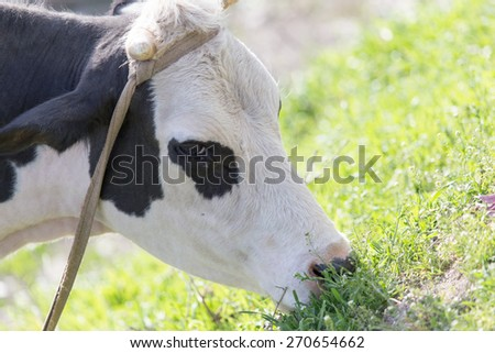 cow grazing on nature - stock photo