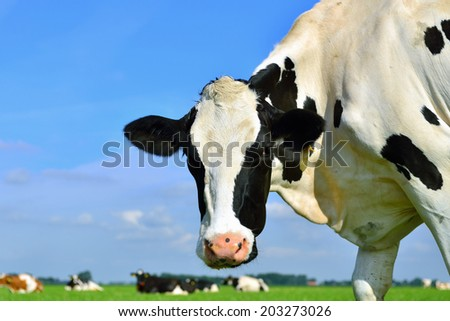 cow head against blue sky with cattle on background - stock photo