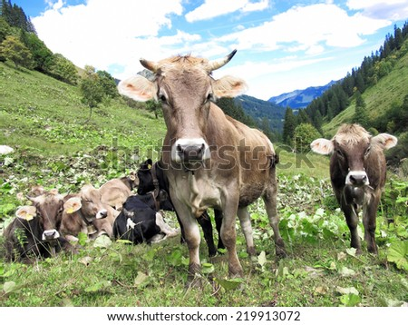 Cow herd on meadow - stock photo
